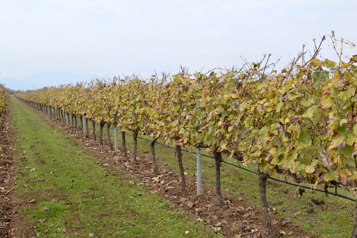 VINEYARD AT AUTUMN